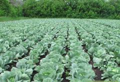 Cabbage of grade aggressor