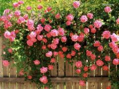 Саженцы роз (Вьющиеся)