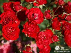 Саженцы роз (Бордюрные)