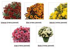 Chrysanthemum of Multiflora Dreamstar TM Very