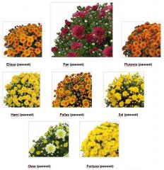 Chrysanthemums early grades