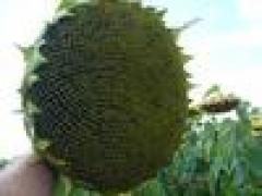 Seeds of sunflower of ZU of Ines