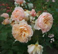 ALEXANDRINE roses