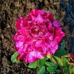 Розы PURPLE TIGER