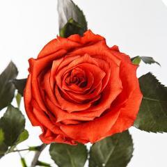 Долгосвежая роза Флорич, живая, не вянет до 5 лет.