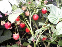Raspberry Indian summer.