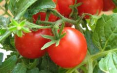 Реализуем помидоры оптом
