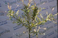 Дерева декоративні
