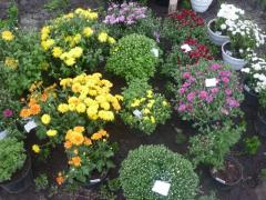 Chrysanthemums, saplings, seedling, flowers, Bila