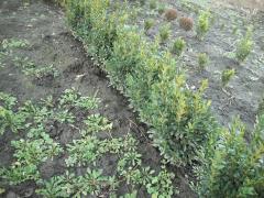 Самшит вечнозелёный - Buxus sempervirens