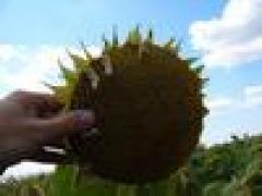 Семена подсолнечника ЗУ Клариса