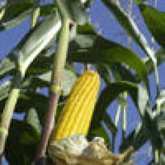 Seeds of corn of Zuriga (SUM 1467)