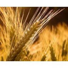 Seeds of winter barley