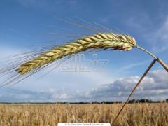 Зерно оптом от производителя  :подсолнух,пшеница ,кукуруза  масличные оптом