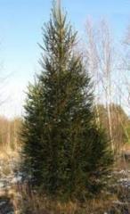 Саженцы елей, Ель обыкновенная – Picea abies,