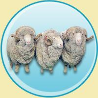 Belt from sheep wool