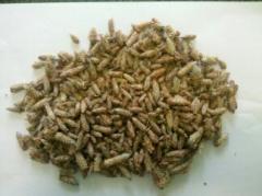 Pąki sosny