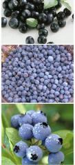 Berries of blueberry garden from the Carpathians