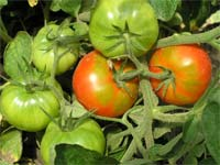 Ранние помидоры.