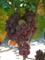 Саженцы морозоустойчивого винограда кишмиш Катавба