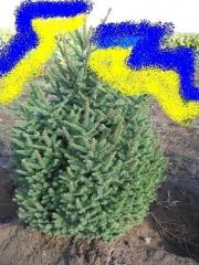Fir-tree ordinary green, exclusive quality