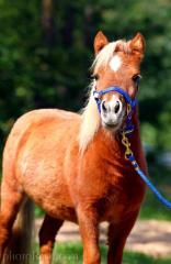 Cavalos pequenos da raça americana