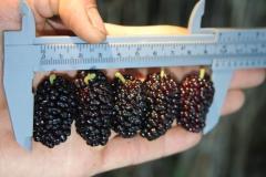 Саженцы шёлковицы Плодовая-4