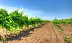Саженцы виноград Столовый