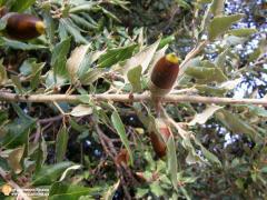 Саженцы дуба