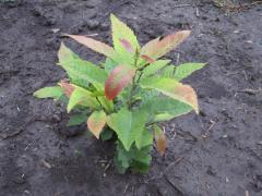 Chestnut saplings