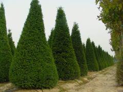 Cypress pyramidal