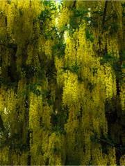 Лабурнум (золотой дождь)