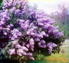 Lilac saplings wholesale