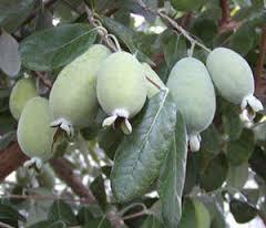 Feijoa saplings