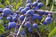 Плоды терновника сушеные, плоды терновника сушеные