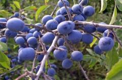 Blackthorn fruits dried, blackthorn fruits dried