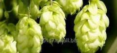 Clone-18 hop the granulated type-90