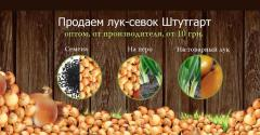 Onions of sevka Stuttgart, a seyanka from the