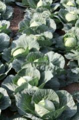 Семена капусты белокачанной Голден кросс F1