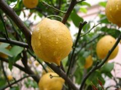 Los plantones del limón krym