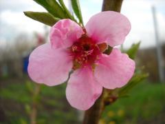 Саженцы персика сорт Вавиловский купить Крым