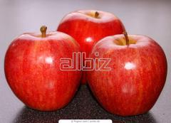 Apple-trees Gala