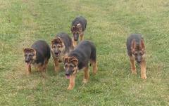 Puppy of a German shepherd