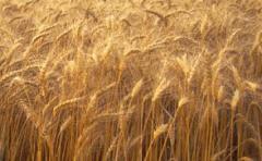 Семена озимой пшеницы Златоглава,  Лист 25, ...
