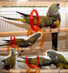 Patagonian parrot or Rocky parrot manual baby