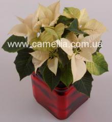 Рождественская звезда (Puansettia)