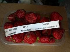 Саженцы клубники Полка код 1011 - средний сорт