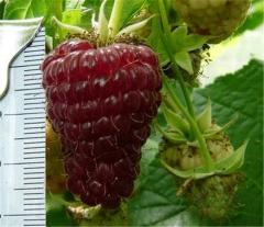 Raspberry saplings Heracles remontantny productive