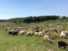 Стадо овец