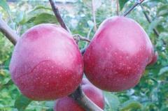 Саженцы яблонь  Глостер